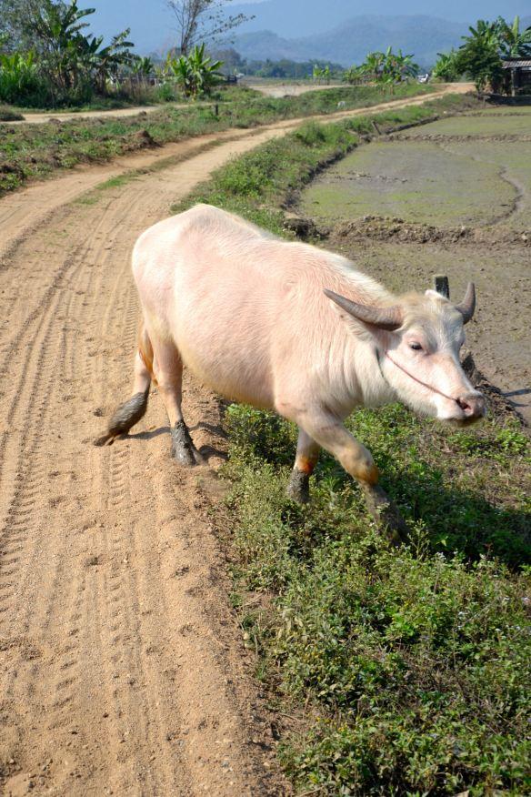 De witte buffel die ons pad kruiste