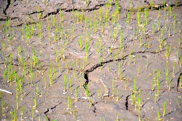 Rijstplantjes die net gekiemd zijn