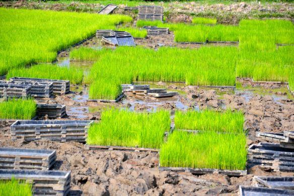 Aanplanten van de rijstvelden