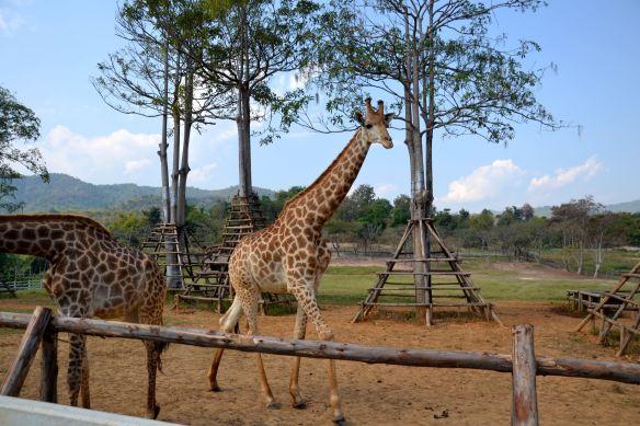Giraf in Thailand